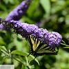 Yellow butterfly on butterfly bush - 86