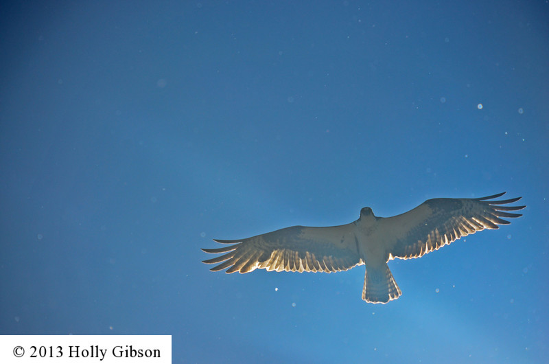 Osprey overhead - blocking sun - 83