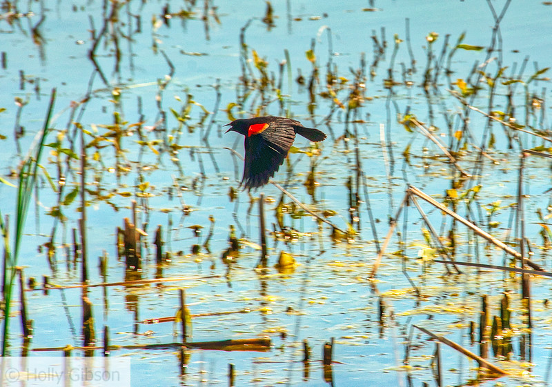 Red-winged blackbird - 109