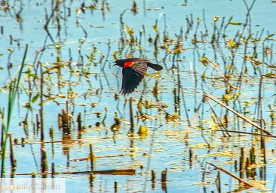 Red-winged blackbird - 109