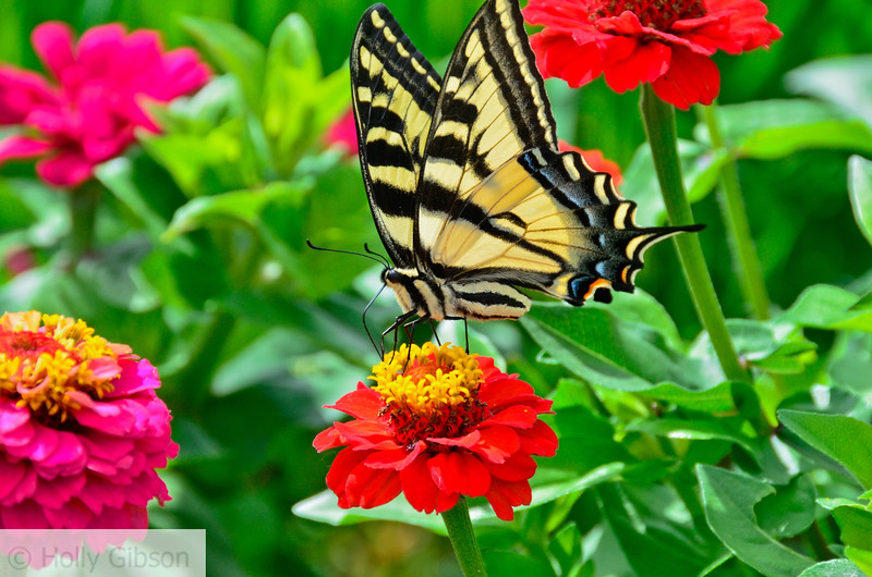 Swallowtail butterfly on zinnia at Ft. Vancouver garden - 102