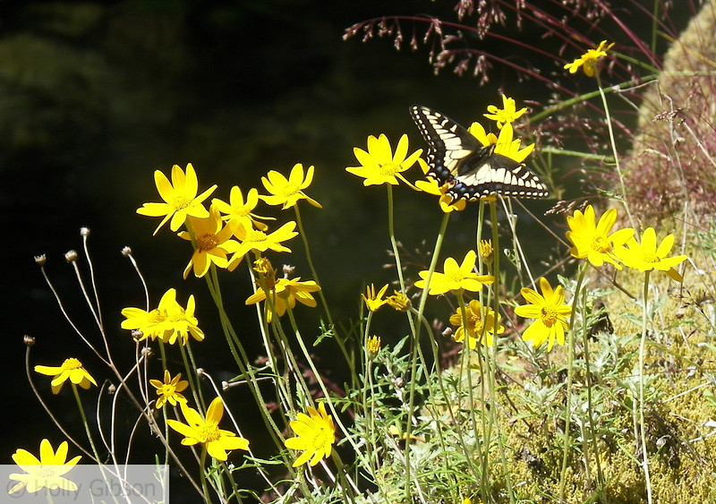 Butterfly and Daisies - 14