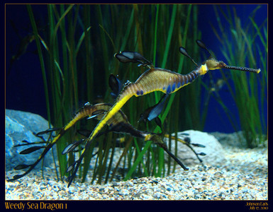 Weedy Sea Dragon, from the Monterey Bay Aquarium's sea horse exhibit.  Unfortunately, Monterey Bay Aquarium doesn't allow the use of tripods or even monopods, so these photos were taken at an extreme angle using the wall for support, and are still blurrier than I was hoping :(  Monterey Bay Aquarium, Monterey, CA, 17 July 2010