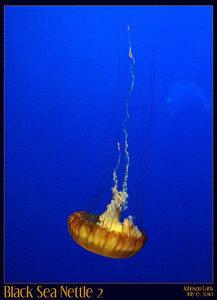 Black Sea Nettle from the Monterey Bay Aquarium's Outer Bay area on jellies.  Unfortunately, Monterey Bay Aquarium doesn't allow the use of tripods or even monopods, so these photos were taken at an extreme angle using the wall for support, and are still blurrier than I was hoping :(  Monterey Bay Aquarium, Monterey, CA, 17 July 2010
