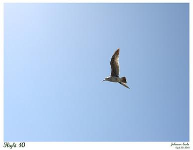 Seagull in flight.  Pacifica, CA, 30 April 2011.