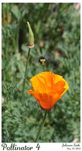 Bumble bee pollinating a California Poppy.  Golden Gate Park, San Francisco, CA, 15 May 2011.