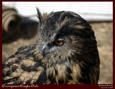 European Eagle Owl  Photos from the Ardenwood Faire, a first-time Renaissance Faire in the historic Ardenwood Farm in Fremont, California.  Ardenwood Farm, Fremont, California, 12 September 2009