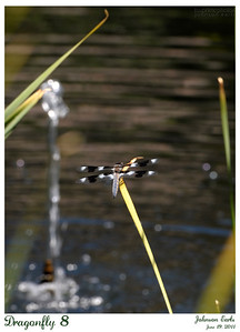 Dragonfly 8  12-spotted Skimmer (Libellula pulchella) dragonfly.  Filoli, 19 June 2011