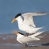 Royal Terns Mating