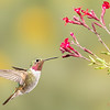 Male Broad-tailed Hummingbird at Salvia Greggii