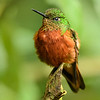 Chestnut -breasted Coronet