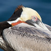Breeding Plumage Brown Pelican