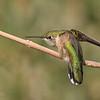 Rufous Hummingbird with Attitude