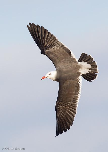 Breeding Plumage Heerman's Gull