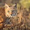 Bobcat!<br /> Southern California wetlands