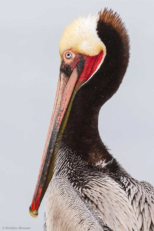 Breeding Plumage Brown Pelican