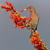 Male House Finch  :-)