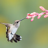 Female Broad-tailed Hummingbird at Red Yucca Flower
