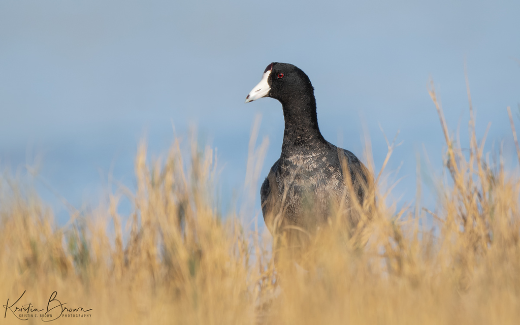 American Coot  Behind Grasses
