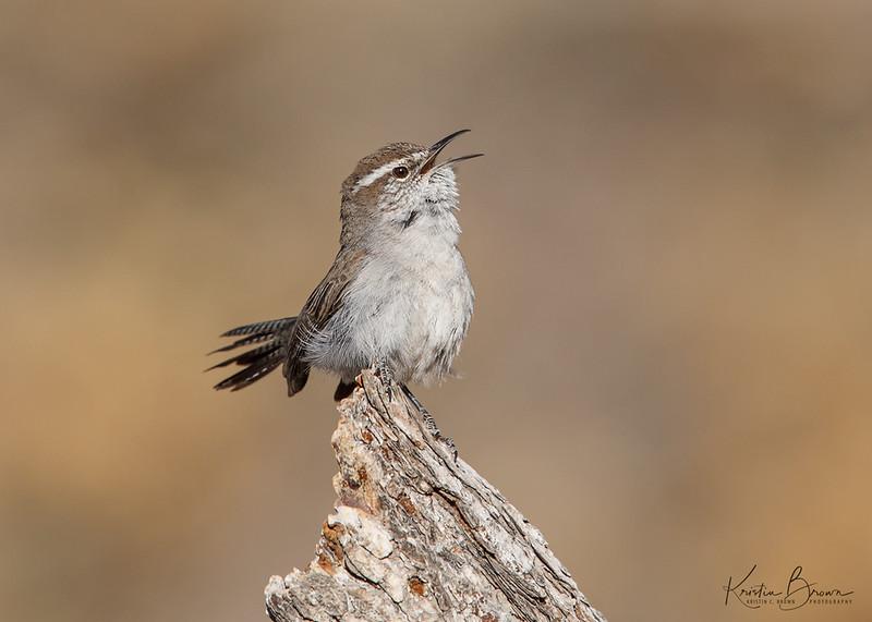 Bewick's Wren Singing