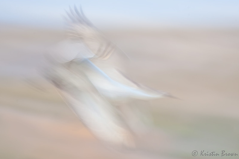 Pan Blur Sandhill Cranes