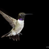 Male Black  Chinned Hummingbird multiflash set up