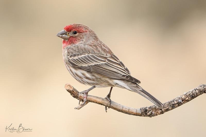 Male House-finch