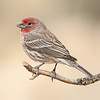 Male House-finch