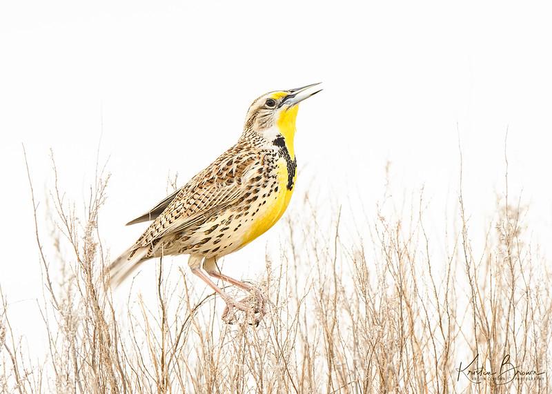 High  Key Western Meadowlark Singing