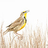 High  Key Western Meadowlark Singing