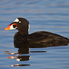 Male Surf Scoter
