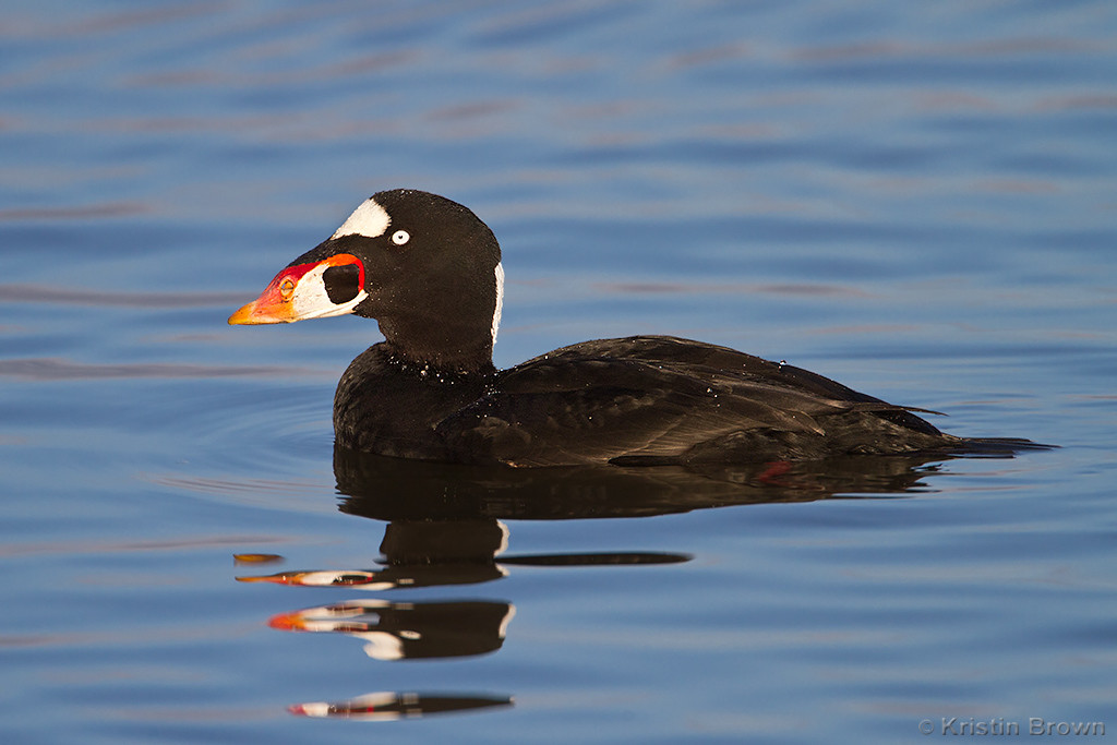 Male Surf Scoter<br /> Southern California