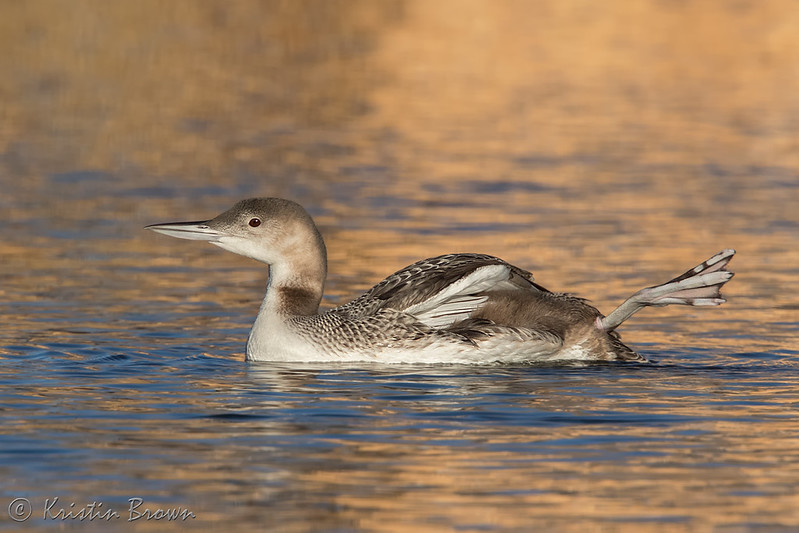 Common Loon visiting