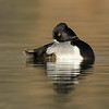 Male Ring-necked Duck Taking a Nap