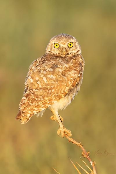 Burrowing Owl Sentry