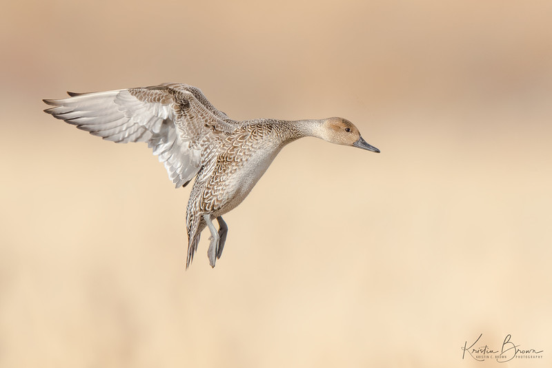 Female Pintail Duck
