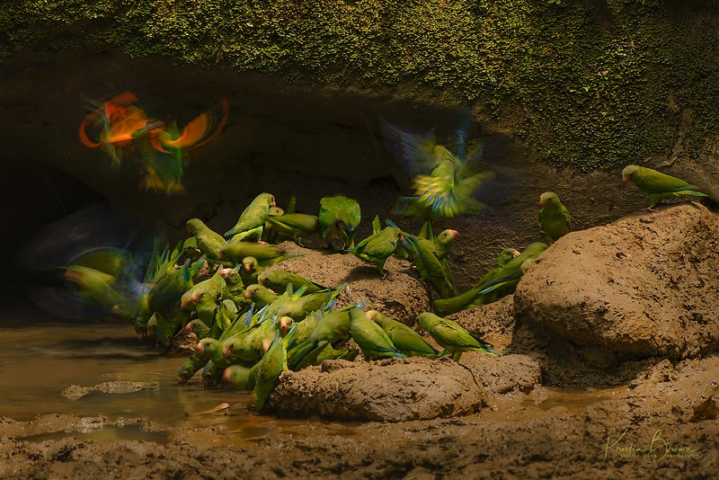 Orange-cheeked Parakeets and one Cobalt-winged Parrot at Clay Lick