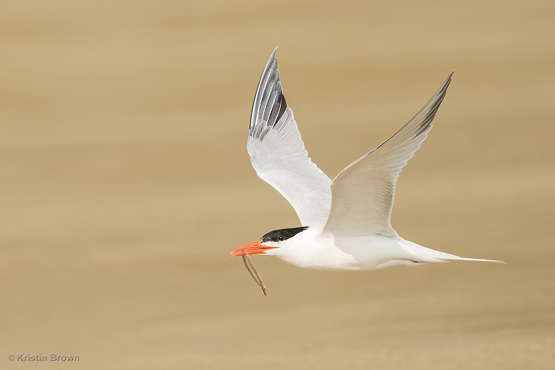 Royal Tern with prize