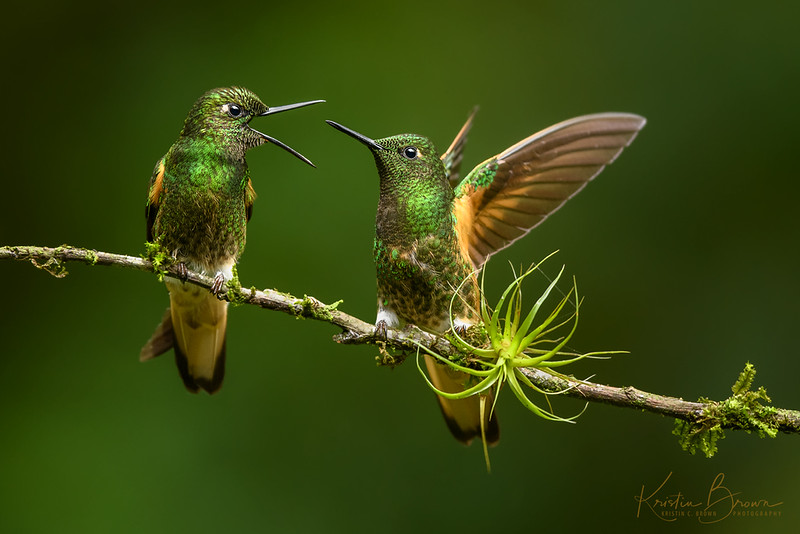 """Buff-tailed Coronet """"discussion"""""""