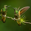"Buff-tailed Coronet ""discussion"""
