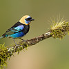 Male Golden-hooded Tanager