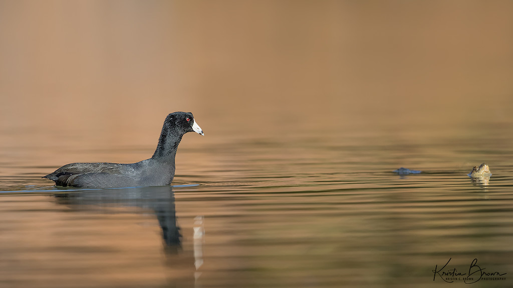 American Coot with....  Turtle!!!
