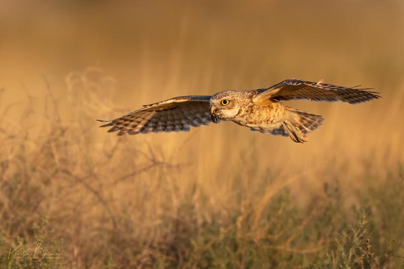 20200617-_85K6781-Burrowing-Owl-with-Beetle-16X10