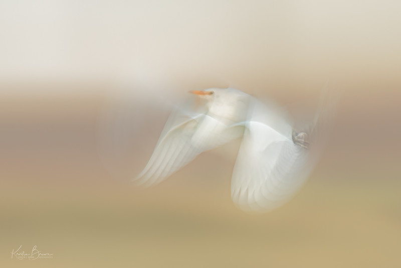 Great Egret Pan Blur Study 2