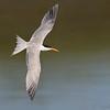 Elegant Tern Banking