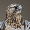 Rough-legged Hawk (captive)