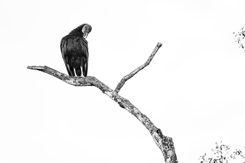 B&W Black Vulture