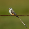 Male Scissor-tailed Flycatcher on barbed wire