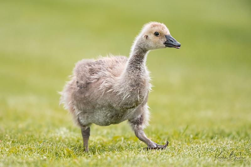 Juvenile Canada Goose