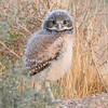 Young Burrowing Owlet